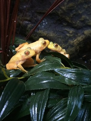 z OUT OF STOCK - ALBINO BULLFROGs - Rana catesbeiana