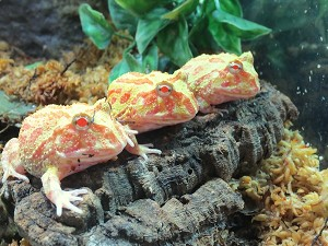 z OUT OF STOCK - ALBINO PACMAN - Ceratophrys ornata, babies