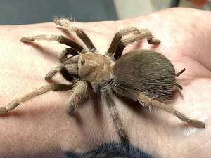 Aphonopelma chalcodes - ARIZONA BLONDE TARANTULA , FEMALES adults