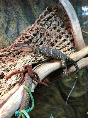 BLACK ROUGH NECK MONITOR, CH BABIES - Varanus rudicollis