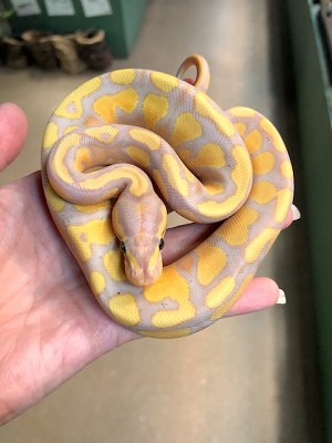 "BANANA BALL PYTHON - 2018 CB ""APOLLO"" MALE, Python regius (produced by Reptile Rapture) (t)"