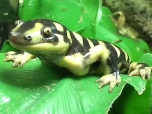 z OUT OF STOCK - TEXAS BARRED SALAMANDERS - Ambystoma