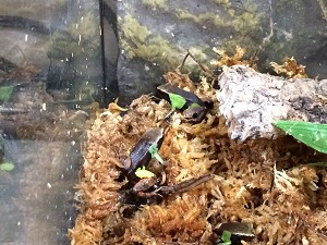 z OUT OF STOCK - BEAUTIFUL MANTELLA - Mantella pulchra