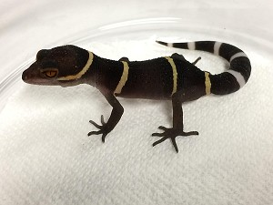 z OUT OF STOCK - CHINESE CAVE GECKOs - Goniurosaurus hainanessis