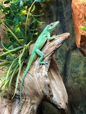 z OUT OF STOCK - CUBAN GIANT KNIGHT ANOLE - Anolis equestris