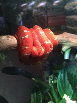 z OUT OF STOCK - EMERALD TREE BOA - Corallus caninus