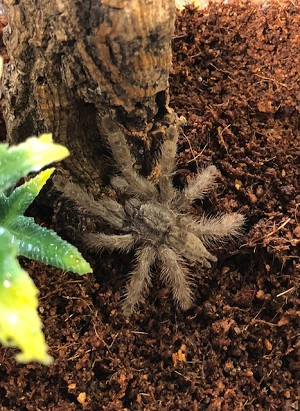 z OUT OF STOCK - Stromatopelma calceatum - FEATHER LEG BABOON TARANTULA