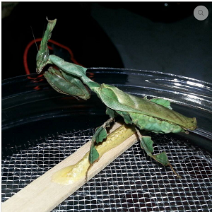 GHOST MANTIS, size L3 - Phylocraina paradoxa