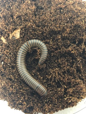 MILLIPEDE, SMOKEY GHOST - Narceus gordanus