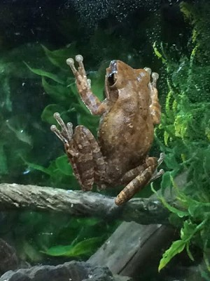 z OUT OF STOCK - GOLD TREEFROG - Rhacophorus leucomystix