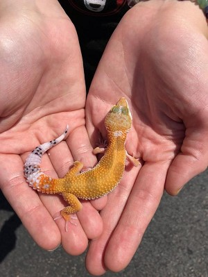 z OUT OF STOCK - LEOPARD GECKO - HIGH COLOR, CB BABIES (Eublepharis macularius)