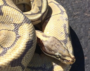 z OUT OF STOCK - HONEYBEE BALL PYTHON - Male, Python regius