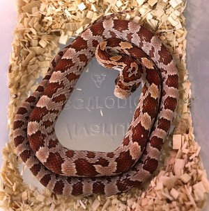 z OUT OF STOCK - CORN SNAKE - CB HYPO - Elaphe [Pantherophis] guttata