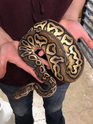 "z ADOPTED - ADULT BALL PYTHON - ""INFINITY"""