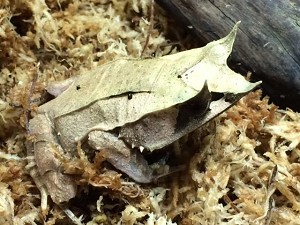 z OUT OF STOCK - MALAYSIAN LEAF FROG - Megophrys Nasuta