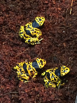 "z OUT OF STOCK - CB BUMBLE BEE DART FROGS - ""FINE SPOT"" Dendrobates leucomelas"
