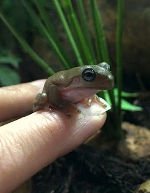 z OUT OF STOCK - CB BLUE EYED - WHITE'S TREE FROG (DUMPY) Litoria caerulea - babies