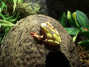 z OUT OF STOCK - CB CLOWN TREE FROG, Dendropsophus leucophyllatus