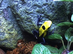 z OUT OF STOCK - CITRONELLA DART FROG - D. tinctorius
