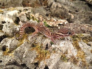 z OUT OF STOCK - CENTRAL AMERICAN BANDED GECKO - baby - Coleonyx mitratus