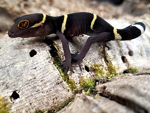 z OUT OF STOCK - CHINESE CAVE GECKO - MALE, Goniurosaurus lichtenfelderi
