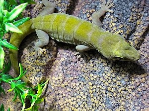 z OUT OF STOCK - GOLDEN GECKO, WC - Gekko badenii