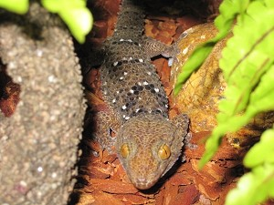 z OUT OF STOCK - TURNERI GECKO, CB - Chondrodactylus turneri