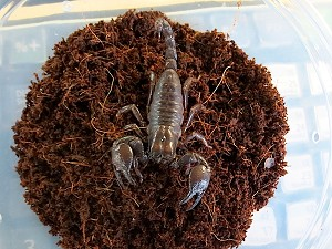 z OUT OF STOCK - RED CLAW SCORPION - Pandinus cavimanus