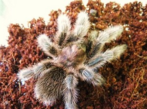 "z OUT OF STOCK - Grammostola rosea or porteri - CB ROSE HAIR TARANTULA - approx. 1/2 - 1"" sling"