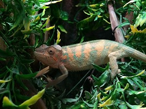 z OUT OF STOCK - CB AMBANJA PANTHER CHAMELEON, CB FEMALES