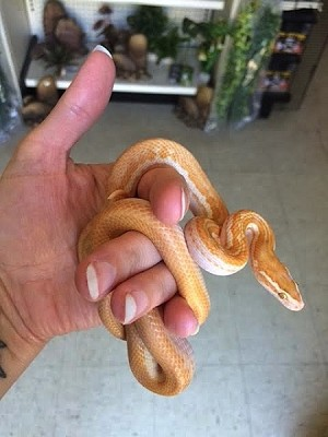 z OUT OF STOCK - CB ALBINO AFRICAN HOUSE SNAKE, Lamprophis