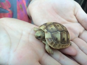 z OUT OF STOCK - CB GOLDEN GREEK TORTOISE - BABIES - Testudo graeca