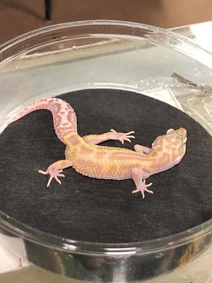 z OUT OF STOCK - LEOPARD GECKO  - MACK SNOW TREMPER ALBINO HET ECLIPSE, CB (Eublepharis macularius)