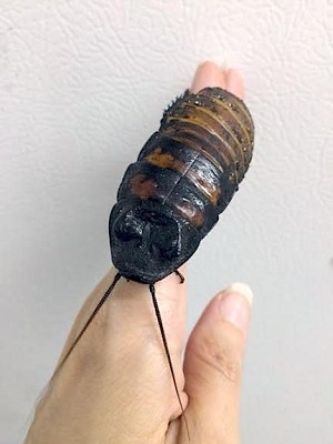 MADAGASCAR HISSING COCKROACH - CB
