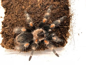 z OUT OF STOCK - Brachypelma auratum - MEXICAN FLAME KNEE TARANTULA, approx. 3""
