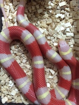 z OUT OF STOCK - NELSON'S MILKSNAKE - ALBINO - Lampropeltis triangulum nelsoni