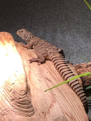 z OUT OF STOCK - CB UROMASTYX - OCELLATED - Uromastyx ocellatus