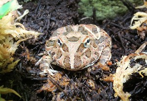 z OUT OF STOCK - CHOCOLATE PACMAN frog - CB babies, Ceratophrys cranwelli