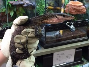 z OUT OF STOCK - CH PEACH THROATED MONITOR - Varanus jobiensis