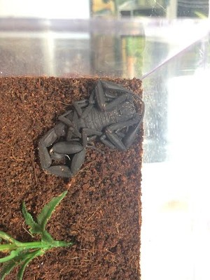 z OUT OF STOCK - WC PERUVIAN BLACK SCORPION - Tityus metuendus