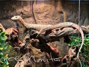 FR QUINCE MONITOR, Varanus melinus - SUPER YELLOW, YEARLING MALE