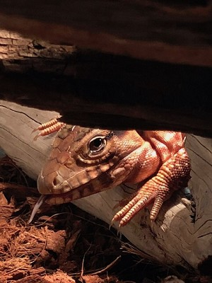 z OUT OF STOCK - PARAGUAYAN RED TEGU, Tupinambis rufescens