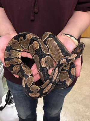 "RESCUE - ADULT BALL PYTHON - ""ACE"""