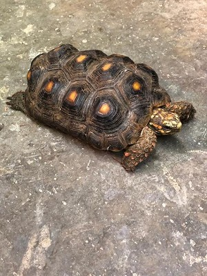 z ADOPTED - RED FOOT TORTOISE - RESCUE 12 YEARS OLD