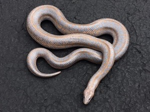 z OUT OF STOCK - LIMBURG HET ALBINO ROSY BOA - Lichanura trivirgata