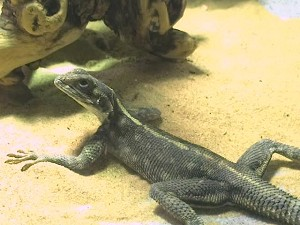 z OUT OF STOCK - WC SPIDERMAN AGAMA - FEMALE, Agama Mwanzae
