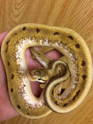 z OUT OF STOCK - SPIDER GENETIC STRIPE BALL PYTHON  - CB, Python regius