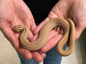 z OUT OF STOCK - SUPER ANACONDA WESTERN HOGNOSE - Heterodon nasicus