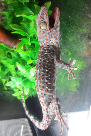 z OUT OF STOCK - TOKAY GECKO - Gekko gecko