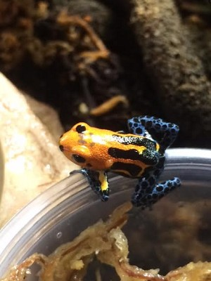 z OUT OF STOCK - VARADERO THUMBNAIL DART FROG CB babies - R. imitator